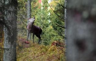 ,bramito di un cervo a  Pian cansiglio