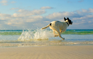 A mixed breed dog running on the beach. Location is Destin Florida.