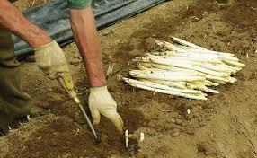 asparagi-badoere-ma-gelo-compromesso-raccolto