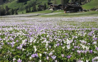 prati-fiori-allo-stelvio