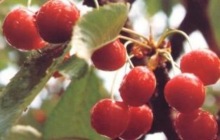 ciliegia-marostica-stime-raccolta