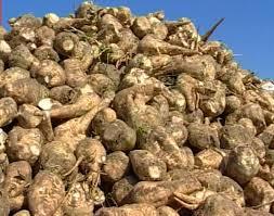la barbabietola da zucchero ha uno stabiliemnto in Veneto di lavorazione: è a Campolongo