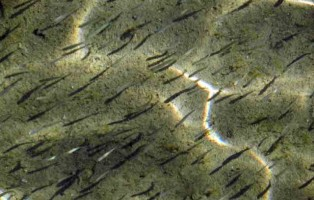 semina-avanotti-trota-marmorata-ceppo-adige