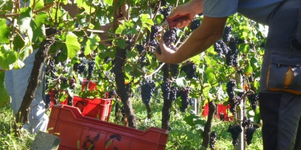 vendemmia-in-trentinoarchivio