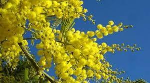 mimose-per-le-donne-e-contro-violenze-festa-8-marzo