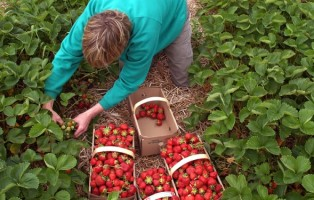 agri-foods-arccolta-fragole-archivio