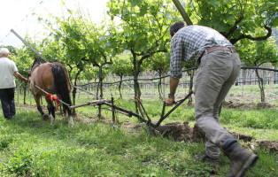 Cavalli agricoltura - lavori agricoli - vigne Foto Walter Nicoletti