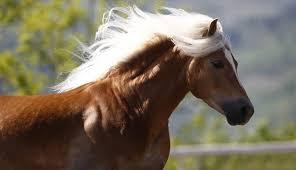 a-merano-sfilata-e-corse-cavalli-avelignesi