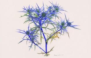 marina-ubertini-eryngium-amethystinum-press