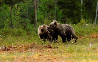 prime-cucciolate-di-orsi-in-trentino