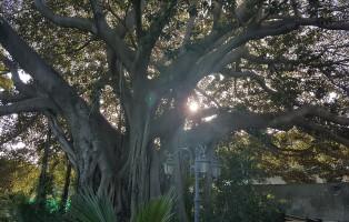 albero_monumentale_a_riposto