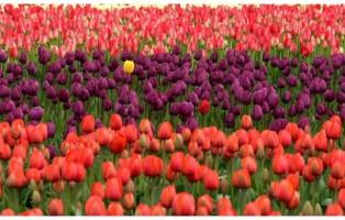 i-bulbi-di-evelina-pisani-un-giardino-di-tulipani-in-mostra-nella-storica-villa-pisani-bolognesi-scalabrin_188112_big